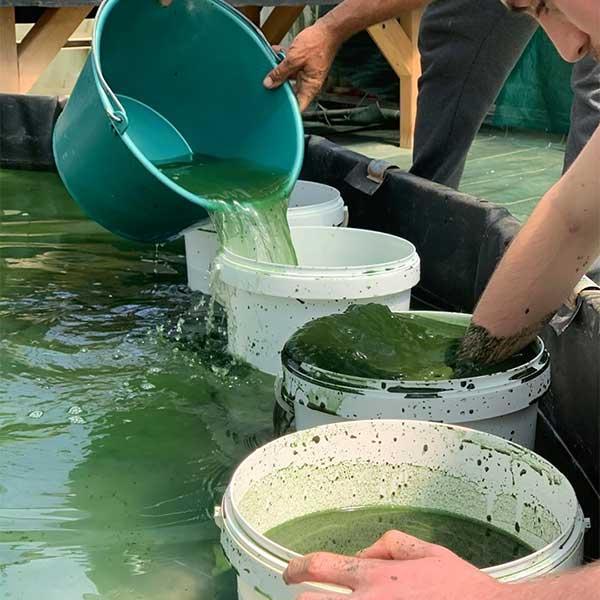 50kg de biomasse de la souche Paracas de la Belle Spiruline